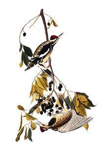 Audubon: Sapsucker, 1827-38 by John James Audubon