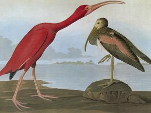 Audubon: Scarlet Ibis by John James Audubon