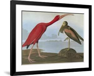 Audubon: Scarlet Ibis by John James Audubon