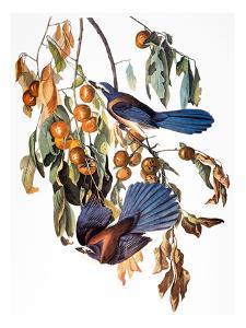 Audubon: Scrub Jay, 1827-38 by John James Audubon