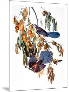 Audubon: Scrub Jay, 1827-38 by John James Audubon
