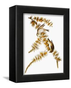 Audubon: Siskin by John James Audubon