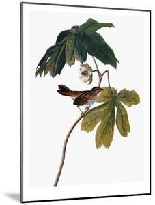 Audubon: Sparrow, 1827-38 by John James Audubon