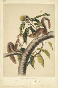 Audubon Squirrel I by John James Audubon