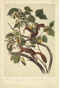 Audubon Squirrel II by John James Audubon