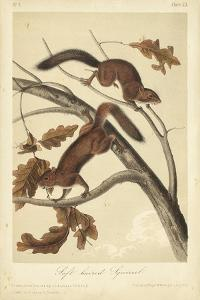 Audubon Squirrel III by John James Audubon