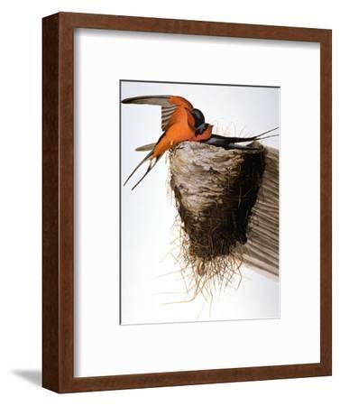 Audubon: Swallow