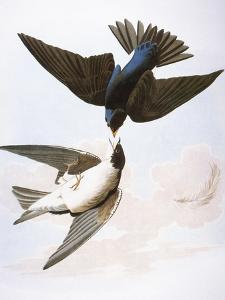 Audubon: Swallows, 1827-38 by John James Audubon