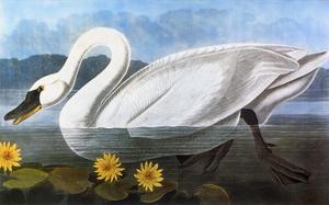 Audubon: Swan, 1827 by John James Audubon