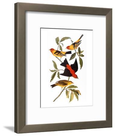 Audubon: Tanager, 1827