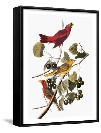 Audubon: Tanager