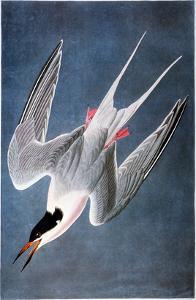 Audubon: Tern by John James Audubon