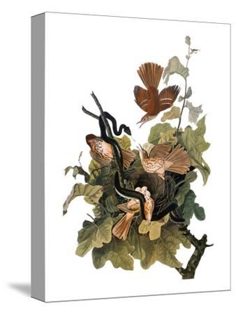 Audubon: Thrasher