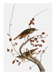 Audubon: Thrush by John James Audubon