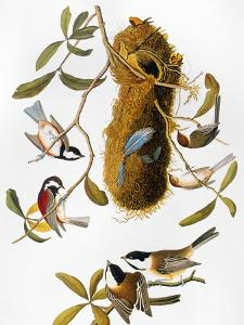 Audubon: Titmouse by John James Audubon