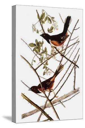 Audubon: Towhee