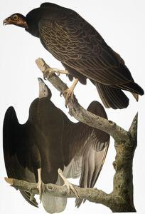 Audubon: Turkey Vulture by John James Audubon