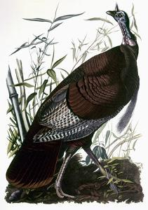 Audubon: Turkey by John James Audubon