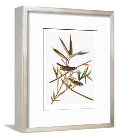 Audubon: Vireo