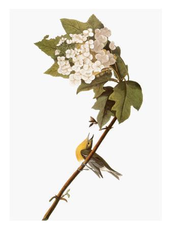 Audubon: Warbler, 1827-38