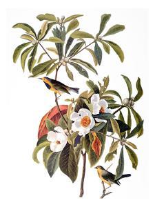 Audubon: Warbler, 1827-38 by John James Audubon