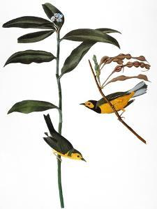 Audubon: Warbler, 1827 by John James Audubon