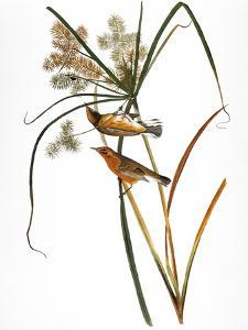 Audubon: Warbler, 1827 by John James Audubon