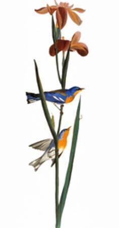 Audubon: Warbler, 1827