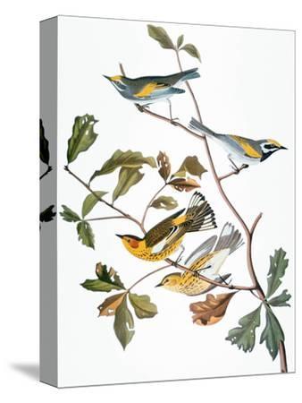 Audubon: Warbler