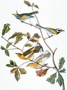 Audubon: Warbler by John James Audubon