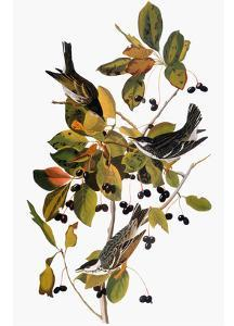 Audubon: Warbler by John James Audubon