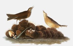 Audubon: Water Pipit, 1827 by John James Audubon
