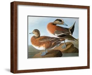 Audubon: Wigeon, 1827-38 by John James Audubon