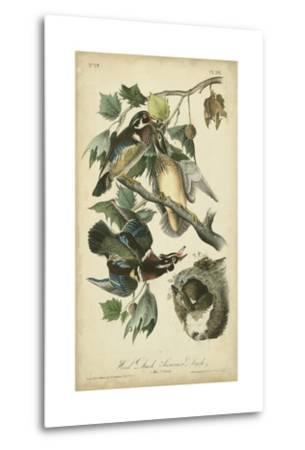 Audubon Wood Duck