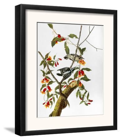 Audubon: Woodpecker, 1827