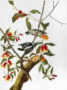 Audubon: Woodpecker, 1827 by John James Audubon