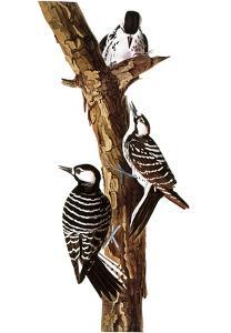 Audubon: Woodpecker by John James Audubon