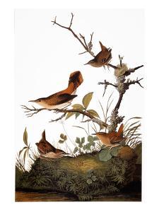 Audubon: Wren by John James Audubon