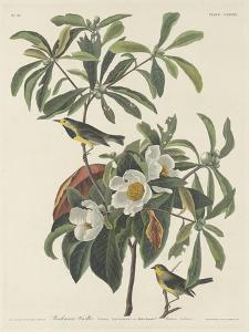Bachman's Warbler, 1834 by John James Audubon