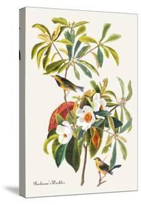 Bachman's Warbler by John James Audubon