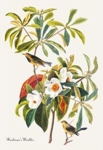Bachman's Warbler by John James Audubon