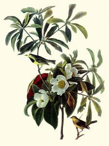 Bachman's Warblers by John James Audubon