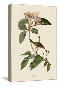 Bachmans Finch by John James Audubon
