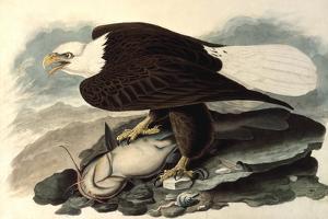 Bald Eagle, 1828 by John James Audubon