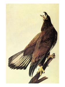 Bald Eagle by John James Audubon