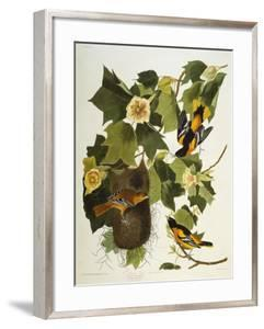 Baltimore Oriole. Northern Oriole (Icterus Galula), from 'The Birds of America' by John James Audubon