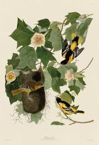 Baltimore Oriole by John James Audubon