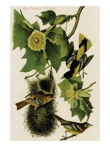 Baltimore Oriole by John James Audubon