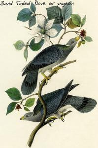 Band Tailed Dove or Pigeon by John James Audubon