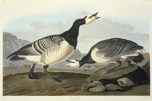 Barnacle Geese by John James Audubon